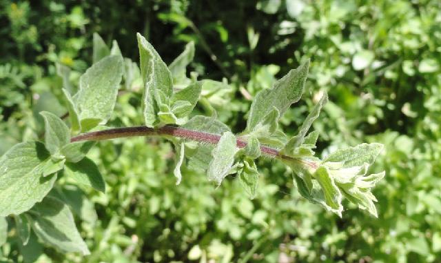 Las plantas de la Biblia (4ª parte): aromáticas, balsámicas y medicinales